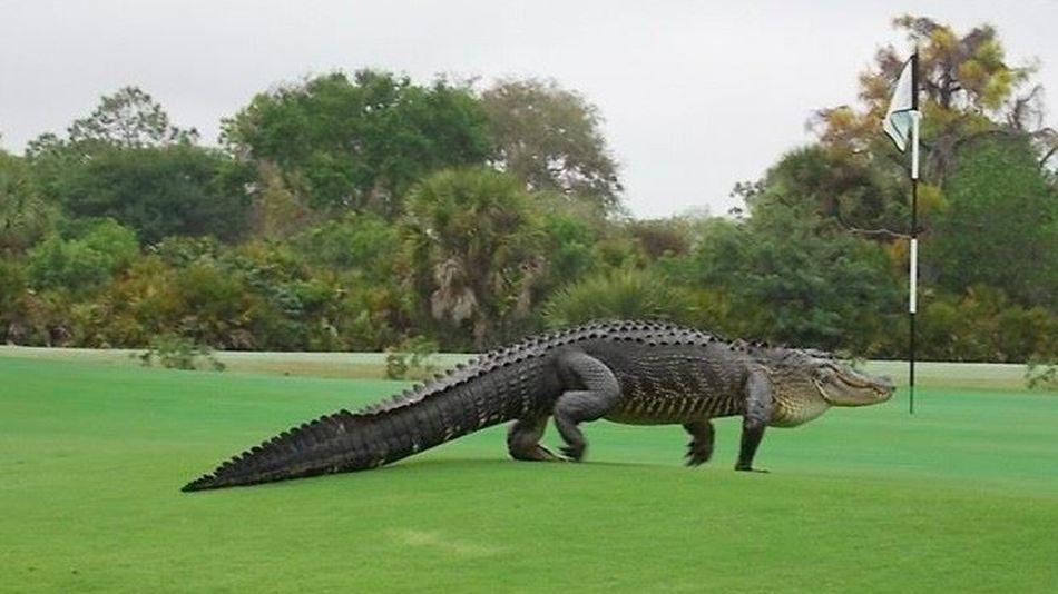 un crocodile énorme dans un terrain de golf