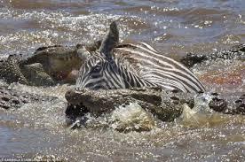 Un zèbre attaqué par un crocodile