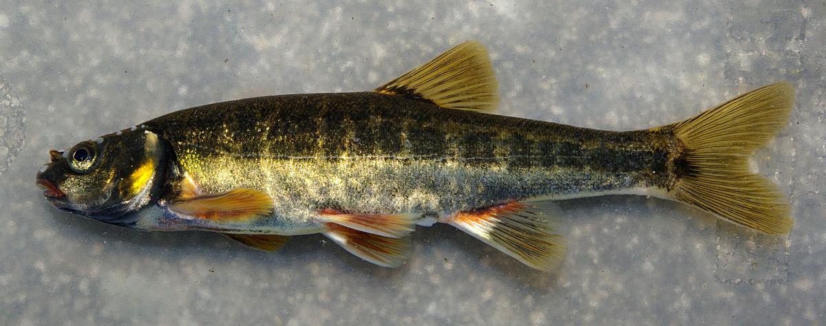سمك-المنوة-اللبناني-النادر